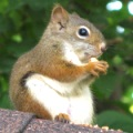 roof-repair-squirrel-damage